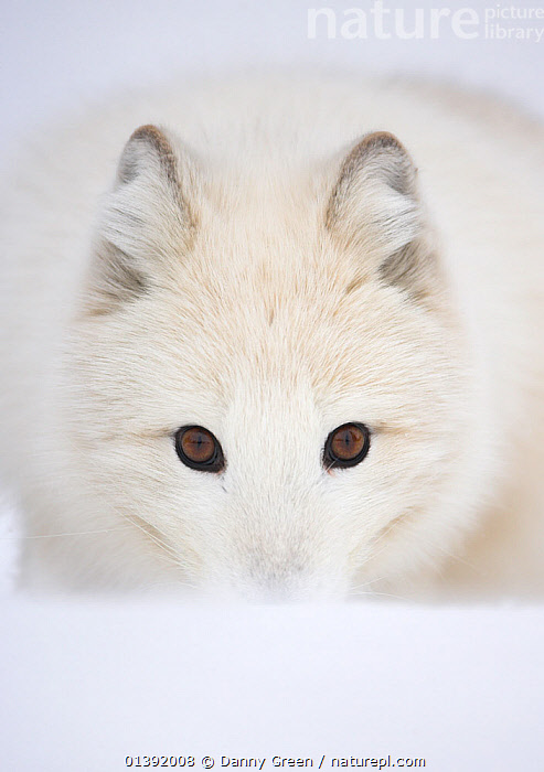 Arctic Fox (Vulpes lagopus) portrait in winter coat. Norway, Captive, March., CANIDAE,CANIDS,CARNIVORES,EUROPE,EXPRESSIONS,FOXES,INTENSE,LOOKING AT CAMERA,MAMMALS,NORWAY,PORTRAITS,SCANDINAVIA,SYMMETRY,UK,VERTEBRATES,VERTICAL,WHITE,United Kingdom,Dogs,Catalogue5, Danny Green
