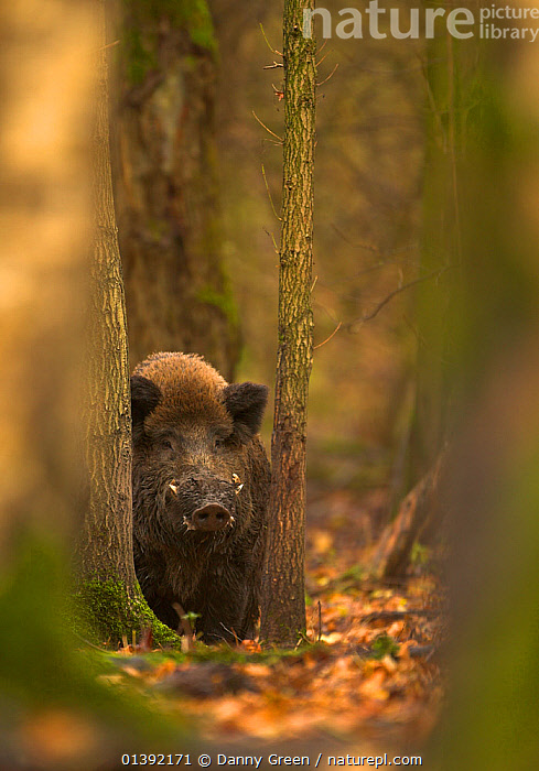 Wild Boar (Sus scrofa) in woodlands. Holland, Europe, November., ARTIODACTYLA,EUROPE,FORESTS,HABITAT,HOLLAND,MAMMALS,NETHERLANDS,PIGS,PORTRAITS,SUIDAE,VERTEBRATES,VERTICAL,WOODLANDS,Catalogue5, Danny Green