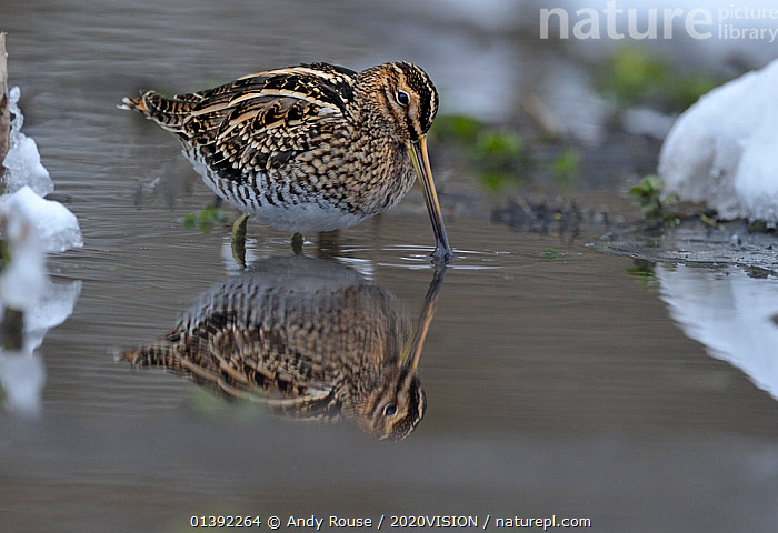 Common snipe (Gallinago gallinago) feeding in shallow water in snow, Wales, UK, March  ,  2020VISION,BEHAVIOUR,BIRDS,EUROPE,FEEDING,SNIPE,SNOW,UK,VERTEBRATES,WADERS,WADING,WALES,WETLANDS,United Kingdom,2020cc  ,  Andy Rouse / 2020VISION