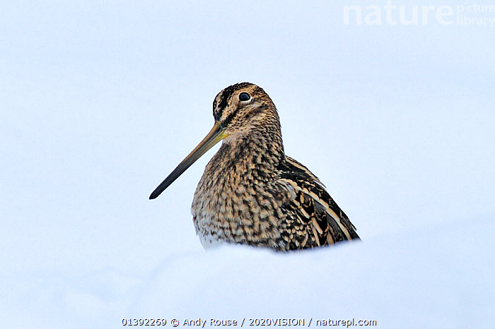 Common snipe (Gallinago gallinago) in snow, Wales, UK, March. Crop of 01392268. Did you know?  The tweeting noise made by a male snipe during its display flight is caused by the wind whistling through its tail feathers.  ,  2020VISION,BIRDS,EUROPE,EXPRESSIONS,PORTRAITS,PROFILE,SNIPE,SNOW,UK,VERTEBRATES,WADERS,WALES,picday,WETLANDS,WHITE BACKGROUND,United Kingdom,2020cc  ,  Andy Rouse / 2020VISION