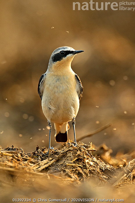 Northern wheatear (Oenanthe oenanthe) adult male in spring plumage feeding on dung flies at farm midden heap, Hertfordshire, UK, April  ,  2020VISION,BEHAVIOUR,BIRDS,DUNG,ENGLAND,EUROPE,FAECES,FARM,FARMLAND,FLIES,FLYING,GROUPS,INSECTS,MALES,MANURE,SONGBIRDS,SWARM,SWARMS,TURDIDAE,UK,VERTEBRATES,VERTICAL,WHEATEARS,Invertebrates,United Kingdom,2020cc  ,  Chris Gomersall / 2020VISION