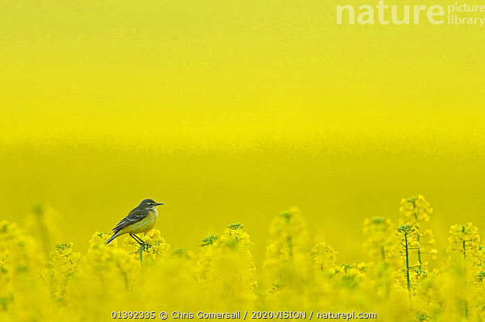 Yellow wagtail (Motacilla flava flavissima) adult female perched in oilseed rape crop (Brassica napus) on arable farm, Hertfordshire, UK, April. Did you know? Although wagtails are almost constantly wagging their tails, it is still poorly understood why they do this.  ,  2020VISION,AGRICULTURE,ARTY SHOTS,BIRDS,CROPS,ENGLAND,EUROPE,picday,FARMLAND,MONOCULTURE,MOTACILLIDAE,SONGBIRDS,UK,VERTEBRATES,WAGTAILS,YELLOW,United Kingdom,2020cc  ,  Chris Gomersall / 2020VISION
