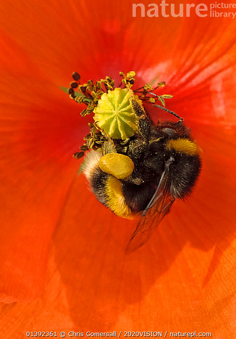 Buff-tailed bumble bee (Bombus terrestris) on field poppy (Papaver rhoeas) showing fully laden pollen sacs, RSPB Hope Farm, Cambridgeshire, UK, May  ,  2020VISION,AGRICULTURE,ARTHROPODS,BEES,BUMBLEBEES,COLOURFUL,CONSERVATION,ENGLAND,EUROPE,FARMLAND,FARMS,FEEDING,FLOWERS,HABITAT,HYMENOPTERA,INSECTS,INVERTEBRATES,MEADOWLAND,POLLEN,POLLINATION,RED,RESERVE,RSPB,SPRING,UK,VERTICAL,WILDFLOWERS,Grassland,United Kingdom,2020cc  ,  Chris Gomersall / 2020VISION