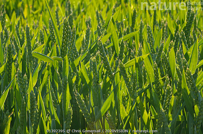 Winter Wheat crop (Triticum aestivum) grown at RSPB's Hope Farm, Cambridgeshire, UK, May 2011.  ,  2020VISION,AGRICULTURE,BACKGROUNDS,CAUCASIAN,CEREALS,CONSERVATION,CROPS,ENGLAND,EUROPE,FARMLAND,FARMS,GRAMINEAE,GRASSES,GREEN,MONOCOTYLEDONS,PATTERNS,PLANTS,POACEAE,RESERVE,RSPB,UK,VERTICAL,United Kingdom,2020cc  ,  Chris Gomersall / 2020VISION