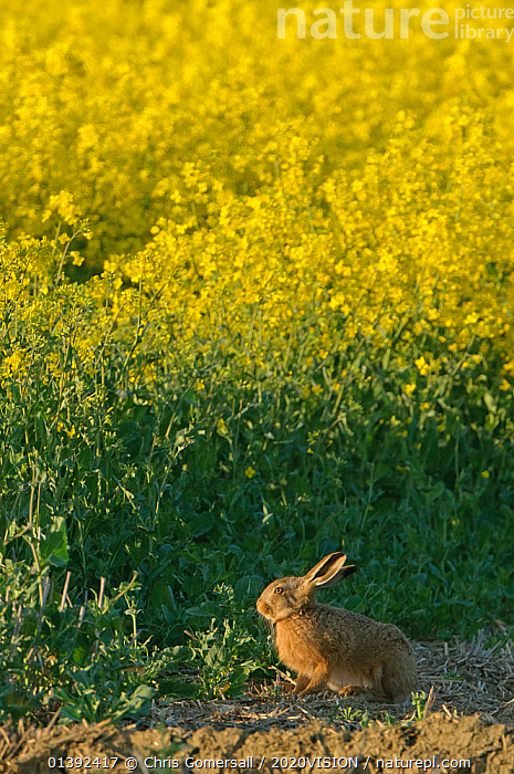 Brown hare (Lepus europaeus) by oilseed rape crop at RSPB's Hope Farm in Cambridgeshire. April 2011.  ,  2020VISION,AGRICULTURE,BROWN HARE,CONSERVATION,CROPS,ENGLAND,EUROPE,FARMLAND,FARMS,HABITAT,HARES,LAGOMORPHS,LEPORIDAE,MAMMALS,RESERVE,RSPB,UK,VERTEBRATES,VERTICAL,YELLOW,United Kingdom,2020cc  ,  Chris Gomersall / 2020VISION