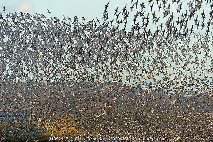 Flock of Red knot (Calidris canutus) and Bar-tailed godwit (Limosa lapponica) in flight at high water on the Wash estuary, Snettisham RSPB reserve, Norfolk, England, UK, March  ,  2020VISION,BIRDS,COASTS,ENGLAND,EUROPE,FLOCKS,FLYING,GODWITS,GROUPS,MANY,MASS,MUDFLATS,RED KNOT,SALTMARSHES,SANDPIPERS,SCOLOPACIDAE,UK,VERTEBRATES,WADERS,United Kingdom,2020cc  ,  Chris Gomersall / 2020VISION