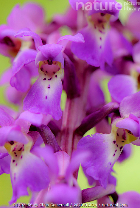 Close-up of Early purple orchid (Orchis mascula) in flower, Gamlingay Wood, Cambridgeshire, England, UK, April  ,  2020VISION,CLOSE UPS,ENGLAND,EUROPE,FLOWERS,FORESTS,MONOCOTYLEDONS,ORCHIDACEAE,ORCHIDS,PLANTS,PURPLE,UK,VERTICAL,WOODLANDS,United Kingdom,2020cc  ,  Chris Gomersall / 2020VISION