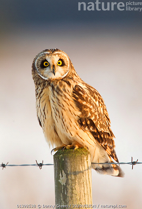 Short-eared owl (Asio flammeus) perched on a fence post, Worlaby Carr, Lincolnshire, England, UK, December, 2020VISION,BIRDS,BIRDS OF PREY,BOGS,ENGLAND,EUROPE,LOOKING AT CAMERA,MOORLAND,ONE,OWLS,PEATLANDS,PORTRAITS,SNOW,STRIGIDAE,UK,VERTEBRATES,VERTICAL,WINTER,Wetlands,United Kingdom,Raptor,2020cc, Danny Green / 2020VISION