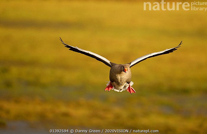 Greylag Goose (Anser anser) in flight, Caerlaverock WWT, Scotland, Solway, UK, January., 2020VISION,ANATIDAE,BIRDS,EUROPE,FLYING,GEESE,RESERVE,SALTMARSHES,SCOTLAND,SOLWAY,UK,VERTEBRATES,WATERFOWL,WETLANDS,United Kingdom,2020cc, Danny Green / 2020VISION