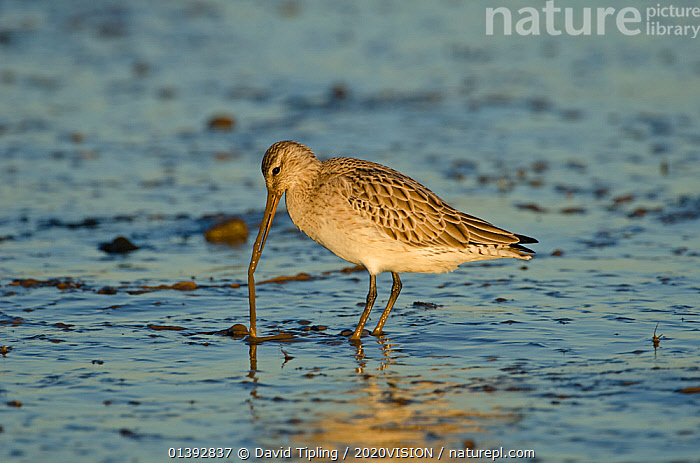 Bar-tailed Godwit (Limosa lapponica) foraging for tidal-flat worm. Norfolk, January. Sequence 2 of 2.  ,  2020VISION,BEHAVIOUR,BIRDS,COASTS,ENGLAND,EUROPE,FEEDING,FORAGING,GODWITS,INVERTEBRATES,NORFOLK,PREDATION,PREY,RESERVE,SALTMARSH,SALTMARSHES,SCOLOPACIDAE,SEQUENCE,UK,VERTEBRATES,WADERS,WORMS,United Kingdom,2020cc  ,  David Tipling / 2020VISION