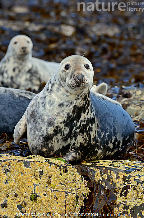 Grey Seal (Halichoerus grypus) hauled out on rocks, in mid-moult. Farne Islands, Northumberland, July.  ,  2020VISION,CARNIVORES,ENGLAND,EUROPE,LOOKING AT CAMERA,MAMMALS,MARINE,MOULT,MOULTING,NORTHUMBERLAND,PHOCIDAE,PINNIPEDS,PORTRAITS,RESERVE,SEALS,SEAS,TWO,UK,VERTEBRATES,United Kingdom,2020cc  ,  David Tipling / 2020VISION
