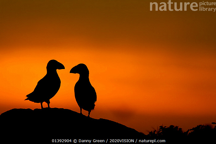 Atlantic Puffins (Fratercula arctica) silhouetted against dusk light. Kerry, Scotland, UK., 2020VISION,ARTY SHOTS,atlantic puffin,AUKS,BIRDS,DAWN,DUSK,EUROPE,FRIENDS,SCOTLAND,SEABIRDS,SILHOUETTES,twilight,two,UK,VERTEBRATES,United Kingdom, Danny Green / 2020VISION
