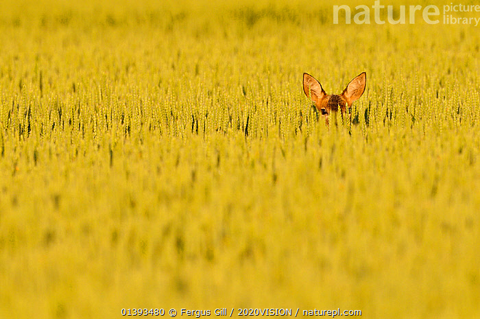 Roe Deer (Capreolus capreolus) doe peering from wheat field. Perthshire, Scotland, June., 2020VISION,AGRICULTURE,ARTIODACTYLA,ARTY SHOTS,CERVIDAE,COPYSPACE,CROPS,DEER,EARS,EUROPE,FARMLAND,FIELDS,HIDDEN,MAMMALS,SCOTLAND,UK,VERTEBRATES,United Kingdom,2020cc, Fergus Gill / 2020VISION