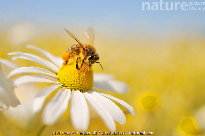 European Honey Bee (Apis mellifera) collecting pollen and nectar from Scentless Mayweed (Tripleurospermum inodorum). Perthshire, Scotland, July. Did you know? A worker Honeybee will only produce a 12th of a teaspoon of honey in its lifetime., 2020VISION,APIDAE,ARTHROPODS,ASTERACEAE,BEES,BEHAVIOUR,EUROPE,FARMLAND,FLOWERS,FORAGING,HYMENOPTERA,INSECTS,INVERTEBRATES,MACRO,POLLEN,SCOTLAND,UK,WHITE,United Kingdom ,honeybee,honeybees,2020cc, Fergus Gill / 2020VISION