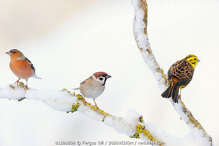 Tree Sparrow (Passer montanus), male Chaffinch (Fringilla coelebs) and a male Yellowhammer (Emberiza citrinella) on snowy branch (left to right). Perthshire, Scotland, December.  ,  2020VISION,BIRDS,EUROPE,FARMLAND,FINCHES,MIXED FLOCKS,MIXED SPECIES,PASSERIDAE,SCOTLAND,SNOW,SONGBIRDS,SPARROWS,THREE,UK,VERTEBRATES,United Kingdom,2020cc  ,  Fergus Gill / 2020VISION