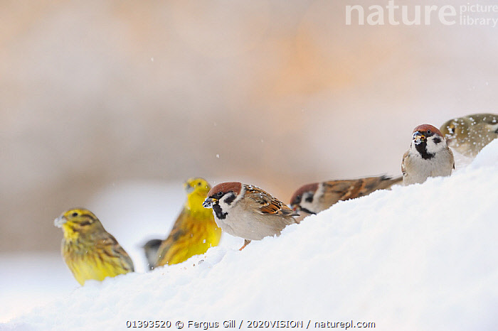 Tree Sparrow (Passer montanus) (right) and Yellowhammer (Emberiza citrinella) foraging on snow. Perthshire, Scotland, January. Did you know? The Tree sparrow population in UK dropped by 93% between 1970 and 2008.  ,  2020VISION,BIRDS,EUROPE,FARMLAND,GROUPS,MIXED FLOCKS,MIXED SPECIES,PASSERIDAE,SCOTLAND,picday,SNOW,SONGBIRDS,SPARROWS,UK,VERTEBRATES,United Kingdom,2020cc  ,  Fergus Gill / 2020VISION