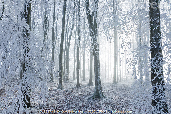 Beech (Fagus sylvatica) woodland in hoar frost and winter mist. West Woods, Compton Abbas, Dorset, England, UK, December.  ,  2020VISION,BACKGROUNDS,COLD,DICOTYLEDONS,DORSET,EUROPE,FAGACEAE,FROST,NP,PLANTS,RESERVE,UK,WINTER,WOODLANDS,Weather,National Park,United Kingdom,2020cc  ,  Guy Edwardes / 2020VISION