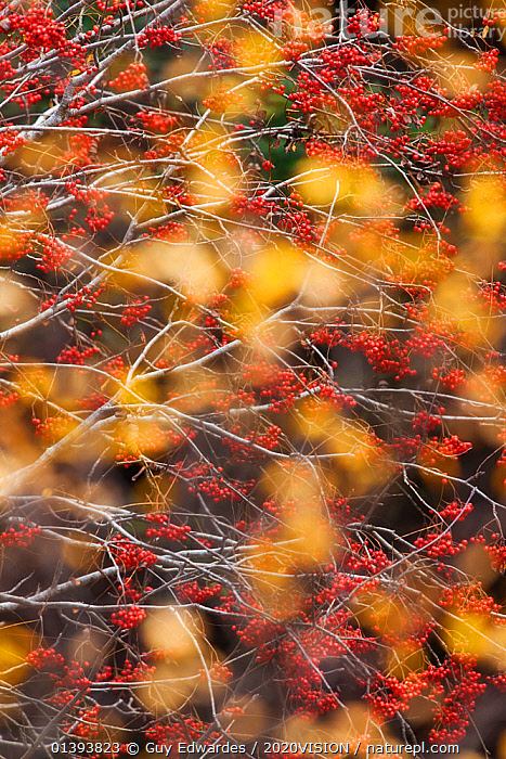 Rowan Tree (Sorbus aucuparia) covered in berries seen through autumn leaves. Dartmoor National Park, Devon, England, UK, October.  ,  2020VISION,ARTY SHOTS,BERRIES,DICOTYLEDONS,EUROPE,NP,PLANTS,RED,RESERVE,ROSACEAE,UK,VERTICAL,WOODLANDS,National Park,United Kingdom,2020cc  ,  Guy Edwardes / 2020VISION