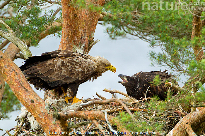 White-tailed Eagle (Haliaeetus albicilla) adult interacting with chick at nest. Wester Ross, Scotland, June.  ,  2020VISION,ACCIPITRIDAE,AERIE,AERIES,BIRDS,BIRDS OF PREY,CALEDONIAN FOREST,CHICKS,EAGLES,EUROPE,FORESTS,HIGHLANDS,INTERACTION,NESTS,NP,PARENTAL,RESERVE,SCOTLAND,TWO,UK,VERTEBRATES,WOODLANDS,National Park,United Kingdom,Raptor  ,  Mark Hamblin / 2020VISION