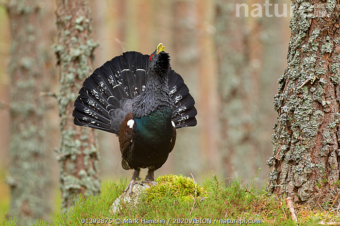 Capercaillie (Tetrao urogallus) adult male displaying in pine forest. Cairngorms National Park, Scotland, February., 2020VISION,BEHAVIOUR,BIRDS,CALEDONIAN FOREST,CALLING,COURTSHIP,DISPLAY,EUROPE,FORESTS,GALLIFORMES,GAME BIRDS,GROUSE,HABITAT,HIGHLANDS,MALES,NP,PHASIANIDAE,RESERVE,SCOTLAND,UK,VERTEBRATES,VOCALISATION,WOODLANDS,Communication,National Park,United Kingdom,2020cc, Mark Hamblin / 2020VISION