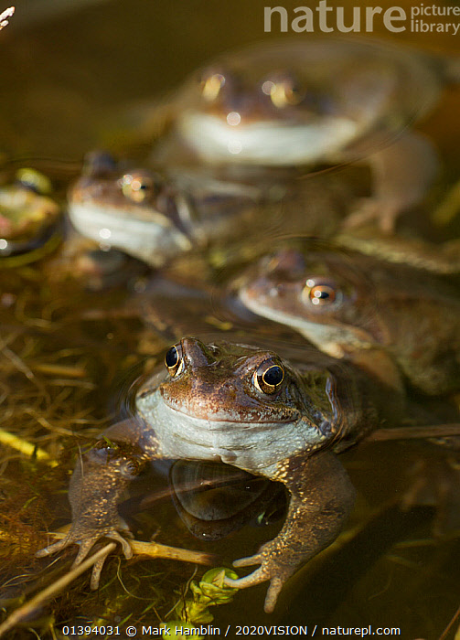 Common frogs (Rana temporaria) spawning in garden pond, Warwickshire, England, UK, March  ,  2020VISION,AMPHIBIANS,ANURA,ENGLAND,EUROPE,FOUR,FROGS,GARDENS,GROUPS,PONDS,RANIDAE,SPAWNING,SPRING,SURFACE,UK,URBAN,VERTEBRATES,United Kingdom,2020cc  ,  Mark Hamblin / 2020VISION