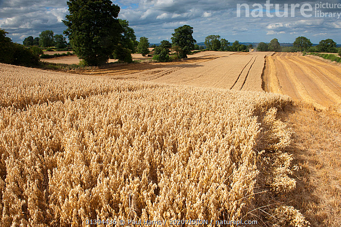 Ripe Oat crop with Combine harvester in distance, Haregill Lodge Farm, Ellingstring, North Yorkshire, England, UK, August., 2020VISION,AGRICULTURE,ARABLE,CEREALS,CROPS,ENGLAND,EUROPE,FARMING,FARMLAND,FIELD,FIELDS,GRAMINEAE,GRASSES,HARVEST,HARVESTING,LANDSCAPES,MACHINERY,MONOCOTYLEDONS,PLANTS,POACEAE,SUMMER,UK,VEHICLES,United Kingdom,2020cc, Paul Harris / 2020VISION