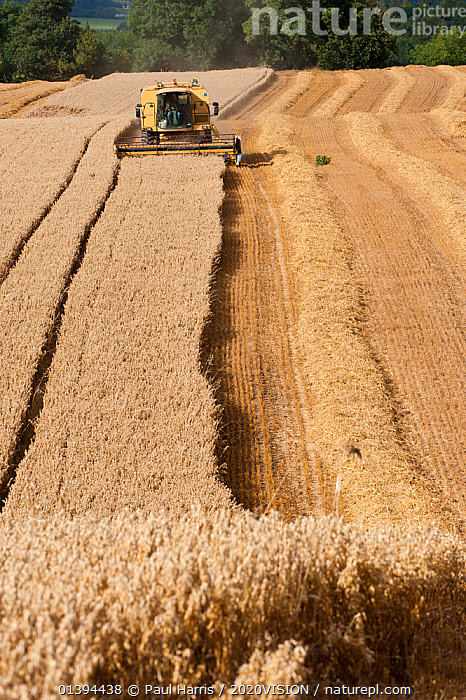 Combine harvester combining Oat crop, Haregill Lodge Farm, Ellingstring, North Yorkshire, England, UK, August.  ,  2020VISION,AGRICULTURE,ARABLE,CEREALS,CROPS,ENGLAND,EUROPE,FARMING,FARMLAND,FIELD,FIELDS,HARVEST,HARVESTING,LANDSCAPES,MACHINERY,SUMMER,UK,VEHICLES,VERTICAL,United Kingdom,2020cc  ,  Paul Harris / 2020VISION