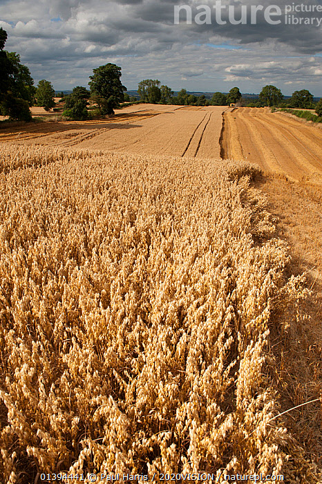 Field of ripe Oats with Combine harvester in the distance, Haregill Lodge Farm, Ellingstring, North Yorkshire, England, UK, August.  ,  2020VISION,AGRICULTURE,ARABLE,CEREALS,CROPS,ENGLAND,EUROPE,FARMING,FARMLAND,FIELD,FIELDS,GRAMINEAE,GRASSES,HARVEST,HARVESTING,LANDSCAPES,MONOCOTYLEDONS,PLANTS,POACEAE,SUMMER,UK,VERTICAL,United Kingdom,2020cc  ,  Paul Harris / 2020VISION
