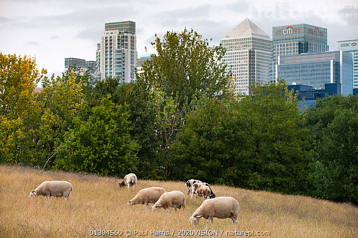 Domestic sheep (Ovis aries) grazing on urban pasture, Mudchute Farm, Isle of Dogs, London, England, UK, August. Did you know? The domestication of sheep is hugely important to humans - more than a billion now share the planet with us!, 2020VISION,ARTIODACTYLA,BOVIDAE,BUILDINGS,CITIES,ENGLAND,EUROPE,GROUPS,LIVESTOCK,MAMMALS,SEVEN,SHEEP,UK,URBAN,VERTEBRATES,United Kingdom,Goats,Antelopes,2020cc,,urban,, Paul Harris / 2020VISION