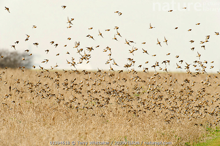 Flock of Linnets (Carduelis cannabina) flying up after feeding on conservation crop grown for farmland birds, Elmley Nature Reserve, Kent, England, UK, February.  ,  2020VISION,BIRDS,CONSERVATION,ENGLAND,EUROPE,FARMLAND,FEEDING,FINCHES,FLOCKS,FLYING,GREATER THAMES FUTURESCAPES,GROUPS,RESERVE,TAKE OFF,UK,VERTEBRATES,United Kingdom  ,  Terry Whittaker / 2020VISION