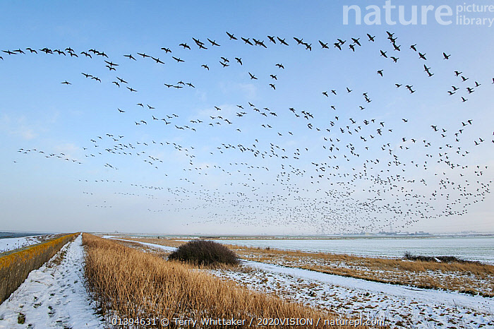 Dark-bellied brent geese (Branta bernicla) in flight, South Swale, Kent, England, UK, February. Did you know? UK brent geese are split into two populations with most 'dark bellied' from Siberia, and most 'light bellied' from Svalbard., 2020VISION,ANATIDAE,BIRDS,COLD,ENGLAND,EUROPE,FARMLAND,FLOCKS,FLYING,GEESE,picday,GREATER THAMES FUTURESCAPES,GROUPS,MANY,SILHOUETTES,SNOW,UK,VERTEBRATES,WATERFOWL,WINTER,United Kingdom,Polar, Arctic, Terry Whittaker / 2020VISION