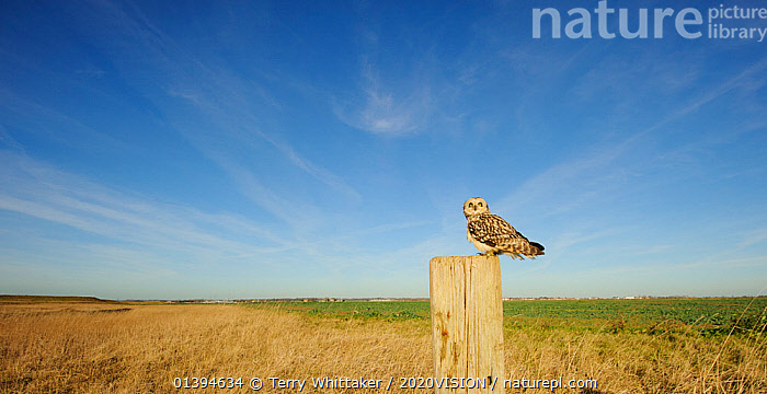 Short-eared owl (Asio flammeus) perched on post at edge of conservation margin and arable crop, Wallasea Island Wild Coast project, Essex, England, UK, January.  ,  2020VISION,BIRDS,BIRDS OF PREY,CAMERA TRAP,ENGLAND,EUROPE,FARMLAND,GREATER THAMES FUTURESCAPES,OWLS,STRIGIDAE,UK,VERTEBRATES,United Kingdom,Raptor,2020cc  ,  Terry Whittaker / 2020VISION
