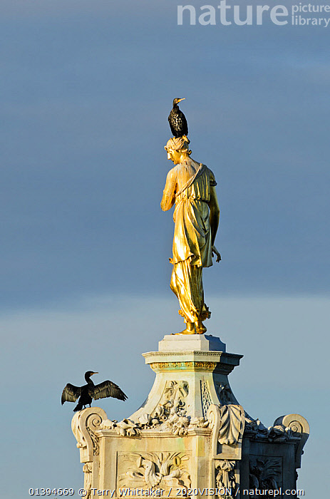 Two Common comorants (Phalocrocorax carbo) perched on statue drying out, Bushy Park, London, England, UK, November.  ,  2020VISION,BIRDS,CORMORANTS,ENGLAND,EUROPE,FUTURESCAPES,GREAT CORMORANT,PARKS,PHALACROCORIDAE,SEABIRDS,STATUES,TWO,UK,URBAN,VERTEBRATES,VERTICAL,United Kingdom,2020cc  ,  Terry Whittaker / 2020VISION