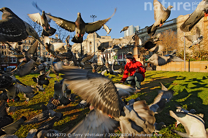 Young woman feeding Feral pigeons (Columba livia), Manchester, England, UK, February. Model released., 2020VISION,BIRDS,CAUCASIAN,CITIES,COLUMBIFORMES,DOVES,ENGLAND,EUROPE,FEEDING,FLOCKS,FLYING,ONE,OUTDOORS,PARKS,PEOPLE,TAKE OFF,UK,URBAN,VERTEBRATES,WOMAN,United Kingdom,2020cc,,urban,, Terry Whittaker / 2020VISION