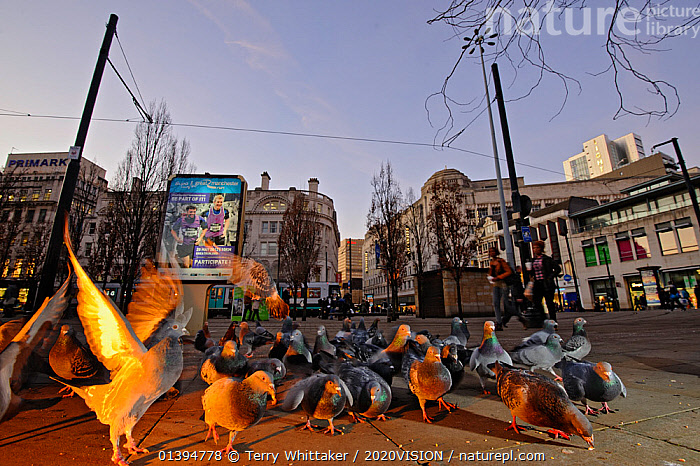 Feral pigeons (Columba livia), Manchester, England, UK, January. Did you know? Pigeons only have 40 taste buds whereas humans have around 10,000.  ,  2020VISION,BIRDS,BUILDINGS,CITIES,COLUMBIFORMES,DOVES,ENGLAND,EUROPE,FEEDING,FLOCKS,UK,URBAN,VERTEBRATES,WINTER,picday,United Kingdom,2020cc,,urban,  ,  Terry Whittaker / 2020VISION