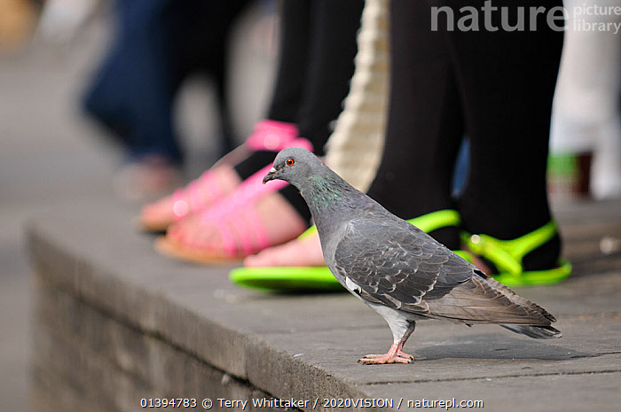 Feral pigeon (Columba livia) on ground, with people's feet in the background, South Bank, London, England, UK, September. Did you know? In the 16th Century England pigeon guano was the only source of saltpetre for making gunpowder., 2020VISION,BIRDS,CAUCASIAN,CITIES,COLUMBIFORMES,DOVES,ENGLAND,EUROPE,FEET,OUTDOORS,PARKS,PEOPLE,picday,TWO,UK,URBAN,VERTEBRATES,United Kingdom,2020cc,,urban,, Terry Whittaker / 2020VISION