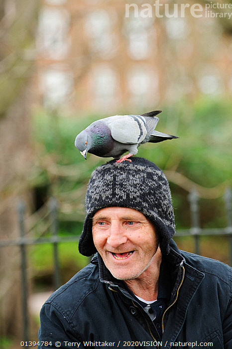 Man with Feral pigeon (Columba livia) perched on his head, Regents Park, London, England, UK, February  ,  2020VISION,BIRDS,BUILDINGS,CAUCASIAN,CITIES,COLUMBIFORMES,DOVES,ENGLAND,EUROPE,HEADS,MAN,ONE,OUTDOORS,PARKS,PEOPLE,UK,URBAN,VERTEBRATES,United Kingdom,2020cc,,urban,  ,  Terry Whittaker / 2020VISION