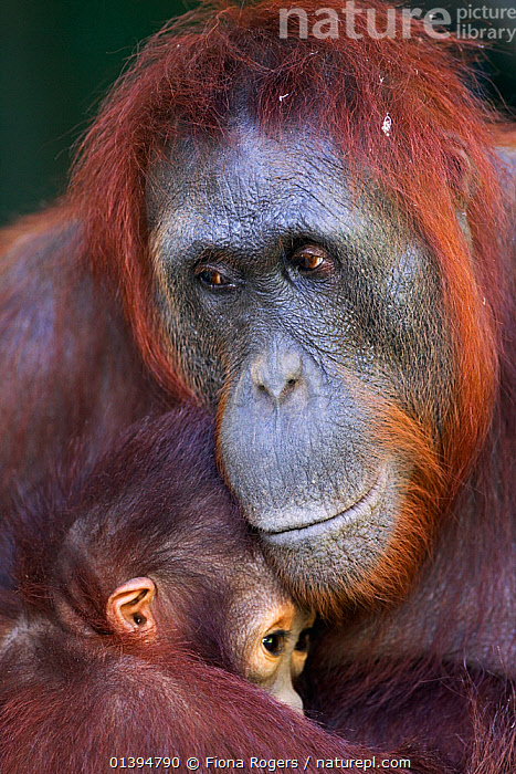 Bornean Orangutan (Pongo pygmaeus wurmbii) female 'Unyuk' holding her daughter 'Ursula' age 4. Camp Leakey, Tanjung Puting National Park, Central Kalimantan, Borneo, Indonesia. June 2010. Rehabilitated and released (or descended from) between 1971 and 1995.  ,  affection,AFFECTIONATE,BABIES,borneo,Camp Leakey,catalogue5,CLOSE UPS,CONSERVATION,EMBRACING,ENDANGERED,EXPRESSIONS,FACES,FAMILIES,FEMALES,full frame,GREAT APES,HEADS,hominidae,INDONESIA,KALIMANTAN,MAMMALS,Maternal,MOTHER BABY,motherhood,national park,Nobody,NP,ORANGUTAN,outdoors,PARENTAL,PORTRAITS,PRIMATES,protection,protective,REHABILITATION,RESERVE,SOUTH EAST ASIA,Tanjung Puting National Park,two,two animals,VERTICAL,WILDLIFE,YOUNG,Asia  ,  Fiona Rogers