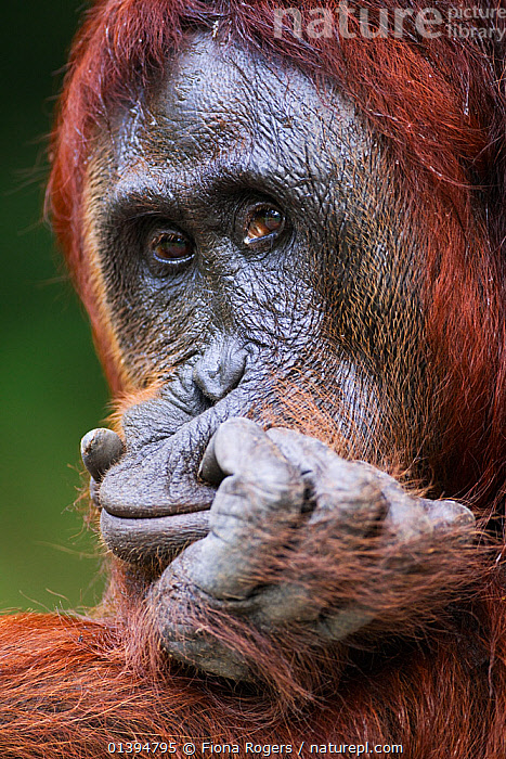 Bornean Orangutan (Pongo pygmaeus wurmbii) female 'Tutut' resting her head on her hand. Camp Leakey, Tanjung Puting National Park, Central Kalimantan, Borneo, Indonesia. July 2010. Rehabilitated and released (or descended from) between 1971 and 1995.  ,  BORNEO,CONSERVATION,ENDANGERED,EXPRESSIONS,FACES,FEMALES,FULL FRAME,GREAT APES,HOMINIDAE,INDONESIA,LOOKING AT CAMERA,MAMMALS,NP,ORANGUTAN,PORTRAITS,PRIMATES,REHABILITATION,RESERVE,SOUTH EAST ASIA,VERTICAL,Asia,National Park  ,  Fiona Rogers