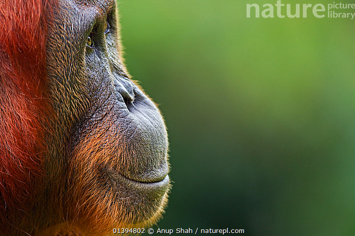 Bornean Orangutan (Pongo pygmaeus wurmbii) female 'Tutut' head portrait. Camp Leakey, Tanjung Puting National Park, Central Kalimantan, Borneo, Indonesia. July 2010. Rehabilitated and released (or descended from) between 1971 and 1995.  ,  BORNEO,CONSERVATION,COPYSPACE,ENDANGERED,EXPRESSIONS,FEMALES,GREAT APES,HOMINIDAE,INDONESIA,MAMMALS,NP,ORANGUTAN,PORTRAITS,PRIMATES,PROFILE,REHABILITATION,RESERVE,SMILING,SOUTH EAST ASIA,Asia,National Park,Catalogue5  ,  Anup Shah