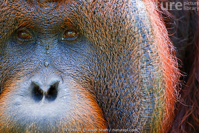 Bornean Orangutan (Pongo pygmaeus wurmbii) mature male 'Tom' close-up portrait showing cheek pad eyes and nose. Camp Leakey, Tanjung Puting National Park, Central Kalimantan, Borneo, Indonesia. June 2010. Rehabilitated and released (or descended from) between 1971 and 1995.  ,  BORNEO,CLOSE UPS,CONSERVATION,ENDANGERED,FACES,FULL FRAME,GREAT APES,HEADS,HOMINIDAE,INDONESIA,MALES,MAMMALS,NP,ORANGUTAN,PORTRAITS,PRIMATES,REHABILITATION,RESERVE,SOUTH EAST ASIA,Asia,National Park  ,  Anup Shah