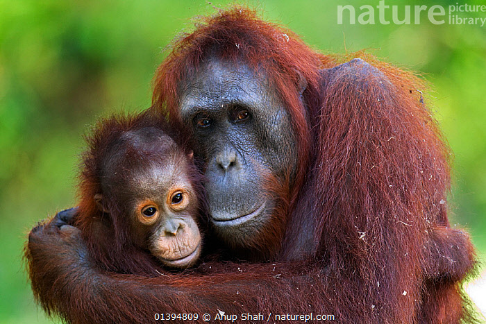 Bornean Orangutan (Pongo pygmaeus wurmbii) female 'Unyuk' cuddling her daughter 'Ursula', age 4 years. Camp Leakey, Tanjung Puting National Park, Central Kalimantan, Borneo, Indonesia. June 2010. Rehabilitated and released (or descended from) between 1971 and 1995.  ,  AFFECTIONATE,BORNEO,CONSERVATION,CUTE,ENDANGERED,GREAT APES,HOMINIDAE,HUGGING,INDONESIA,MAMMALS,MATERNAL,MOTHER BABY,NP,ORANGUTAN,PARENTAL,PORTRAITS,PRIMATES,PROTECTION,PROTECTIVE,REHABILITATION,RESERVE,SOUTH EAST ASIA,TWO,YOUNG,Asia,National Park  ,  Anup Shah