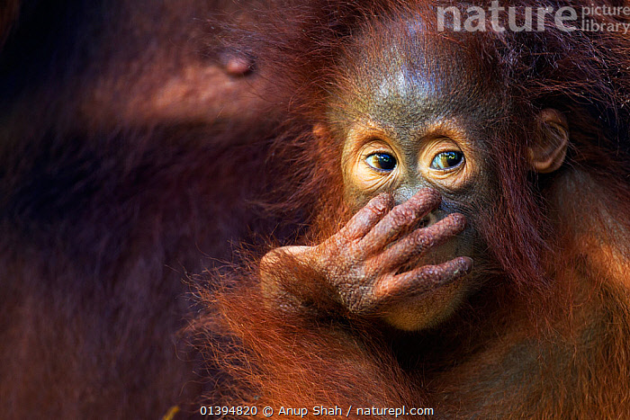 Bornean Orangutan (Pongo pygmaeus wurmbii) female baby 'Petra' aged 12 months. Camp Leakey, Tanjung Puting National Park, Central Kalimantan, Borneo, Indonesia. July 2010. Rehabilitated and released (or descended from) between 1971 and 1995.  ,  BABIES,borneo,BROWN,Camp Leakey,catalogue5,CLOSE UPS,CONSERVATION,ENDANGERED,EXPRESSIONS,FACES,full frame,FUR,GREAT APES,hand over mouth,HEADS,hominidae,INDONESIA,KALIMANTAN,looking away,looking sideways,MAMMALS,mischief,mistake,MOTHER BABY,Nobody,NP,ORANGUTAN,outdoors,PORTRAITS,PRIMATES,REHABILITATION,RESERVE,SOUTH EAST ASIA,Tanjung Puting National Park,two animals,WILDLIFE,Asia,National Park  ,  Anup Shah