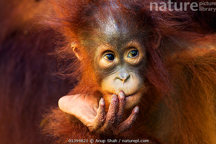 Bornean Orangutan (Pongo pygmaeus wurmbii) female baby 'Petra', age 12 months. Camp Leakey, Tanjung Puting National Park, Central Kalimantan, Borneo, Indonesia. July 2010. Rehabilitated and released (or descended from) between 1971 and 1995.  ,  BABIES,BORNEO,CONSERVATION,ENDANGERED,EXPRESSIONS,FULL FRAME,GREAT APES,HOMINIDAE,INDONESIA,MAMMALS,MOTHER BABY,NP,ORANGUTAN,PORTRAITS,PRIMATES,REHABILITATION,RESERVE,SOUTH EAST ASIA,Asia,National Park  ,  Anup Shah
