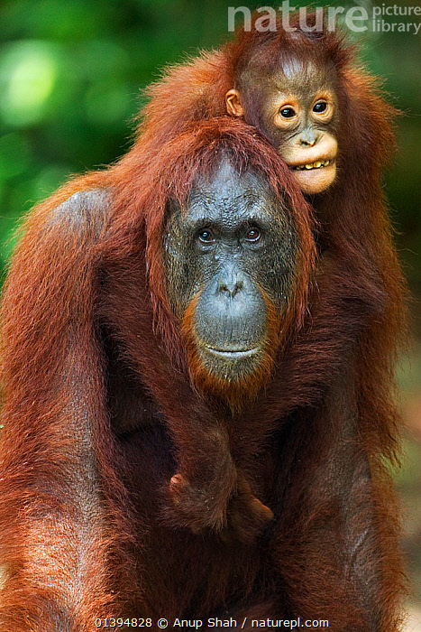 Bornean Orangutan (Pongo pygmaeus wurmbii) female 'Unyuk' carrying her daughter 'Ursula' aged 4 years on her back. Camp Leakey, Tanjung Puting National Park, Central Kalimantan, Borneo, Indonesia. June 2010. Rehabilitated and released (or descended from) between 1971 and 1995.  ,  BORNEO,CARRYING,CONSERVATION,ENDANGERED,EXPRESSIONS,FULL FRAME,GREAT APES,HOMINIDAE,HUMOROUS,INDONESIA,MAMMALS,MOTHER BABY,NP,ORANGUTAN,PORTRAITS,PRIMATES,PROTECTION,PROTECTIVE,REHABILITATION,RESERVE,SOUTH EAST ASIA,VERTICAL,Concepts,Asia,National Park  ,  Anup Shah