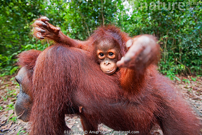Bornean Orangutan (Pongo pygmaeus wurmbii) female baby 'Putri' aged 2 years riding on her mother's back reaching out with curiosity. Camp Leakey, Tanjung Puting National Park, Central Kalimantan, Borneo, Indonesia. July 2010. Rehabilitated and released (or descended from) between 1971 and 1995.  ,  BABIES,BEHAVIOUR,BORNEO,CARRYING,CONSERVATION,ENDANGERED,GREAT APES,HOMINIDAE,HUMOROUS,INDONESIA,MAMMALS,MOTHER BABY,NP,ORANGUTAN,PORTRAITS,PRIMATES,REHABILITATION,RESERVE,SOUTH EAST ASIA,YOUNG,Concepts,Asia,National Park  ,  Anup Shah