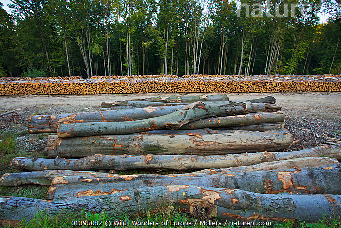 Cut logs of Scots pine (Pinus silvestris), Birch (Betula sp) and Common / European beech (Fagus sylvatica) at a state forestry wood yard near the Polish-Slovakian border, Poland, September 2011, BETULACEAE,CONIFERS,DEFORESTATION,DICOTYLEDONS,Eastern-Carpathians,EASTERN-EUROPE,EUROPE,FAGACEAE,florian-mollers,GYMNOSPERMS,MIXED-SPECIES,PINACEAE,PINES,PLANTS,POLAND,Rewilding,TREES,Wood,WWE,FAGUS SYLVATICA,,,, Wild  Wonders of Europe / Mollers