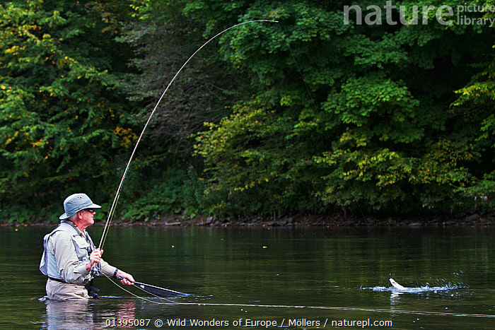 Man pulling in a European grayling (Thymallus thymallus) from the San River, Myczkowce, Poland, September 2011 Model released, EASTERN CARPATHIANS,EASTERN EUROPE,EUROPE,FISH,FISHING,FLORIAN MOLLERS,FLY FISHING,FRESHWATER,GRAYLING,LEISURE,MAN,OSTEICHTHYES,PEOPLE,POLAND,REFLECTIONS,REWILDING,RIVERS,VERTEBRATES,WWE, Wild Wonders of Europe / Möllers