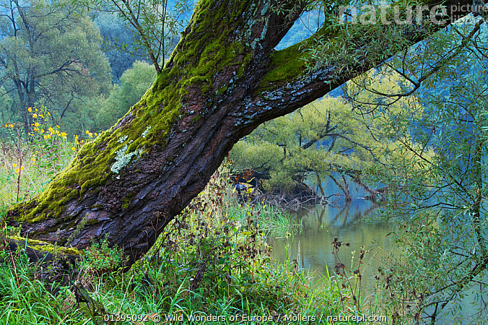 Willows (Salix sp) and other vegetation on the bank of the San River, Myczkowce, Poland, September 2011  ,  DICOTYLEDONS,EASTERN CARPATHIANS,EASTERN EUROPE,EUROPE,FLORIAN MOLLERS,PLANTS,POLAND,REWILDING,RIVERS,SALICACEAE,TREES,TRUNKS,WWE  ,  Wild Wonders of Europe / Möllers