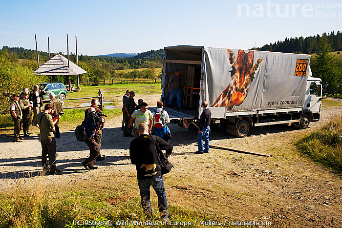 Staff of Bieszczady National Park and Prague Zoo watching the unloading of two crates containing two European bison / Wisent (Bison bonasus) donated by Prague Zoo to Bieszczady National Park, Bukowiec, Poland, September 2011, ARTIODACTYLA,BOVIDAE,BUFFALOS,EASTERN CARPATHIANS,EASTERN EUROPE,ENDANGERED,EUROPE,FLORIAN MOLLERS,GROUPS,MAMMALS,NP,PEOPLE,POLAND,REINTRODUCTION,RESERVE,REWILDING,VEHICLES,VERTEBRATES,WWE,ZOOS,National Park, Wild Wonders of Europe / Möllers